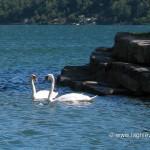 Cigni nel Lago di Lugano a Melide