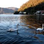 Cigni nel lago di Lugano sulla riva di Maroggia