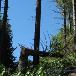 Albero spezzato lungo la strada per il Forte di Orino